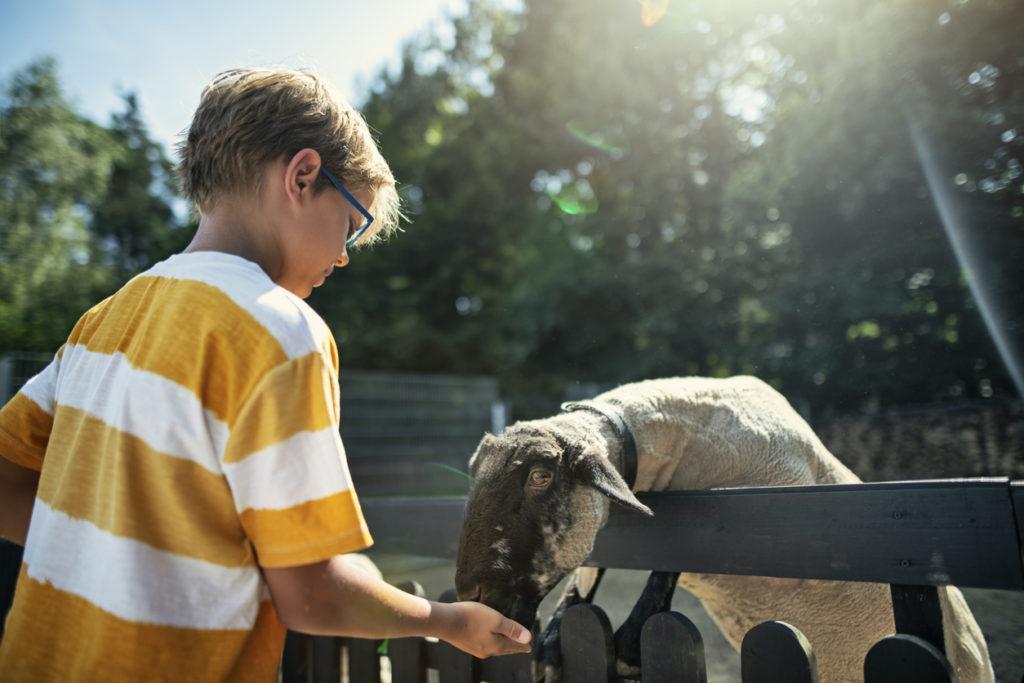 Little boy feeding sheep